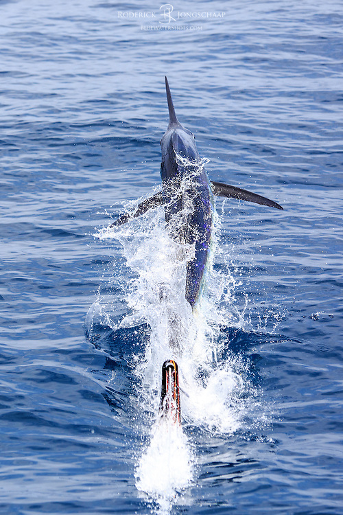 Blue Marlin breaking the surface and jumping away from the boat offshore Luanda, Angola. The lure on which it was is propelled out of the water, leaving a trail of water in its wake. Sequence 2/2