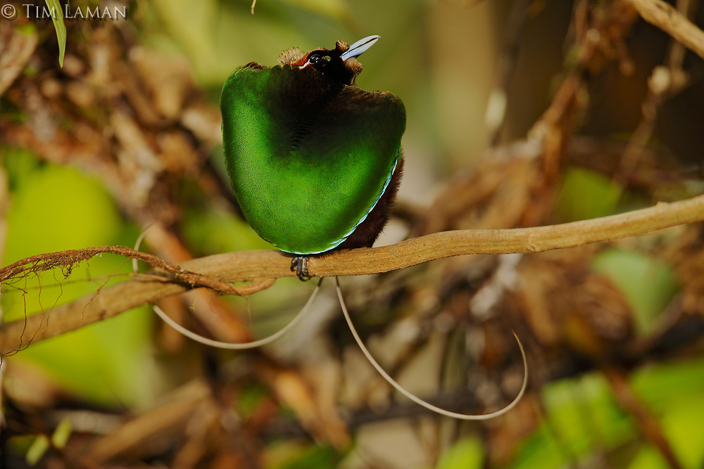 Magnificent Bird of Paradise<br />(Cicinnurus magnificus) male displaying his green breast shield.