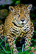 Carajas_PA, Brasil...Onca pintada (Panthera onca) dentro da unidade de conservacao da Floresta Nacional de Carajas...The jaguar (Panthera onca) in the conservation region at Carajas National Forest.. .Foto: JOAO MARCOS ROSA / NITRO