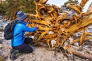Hiker looking at a downed tree in the John Muir Wilderness, California USA