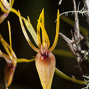 Orchid. Wayqecha Biological Reserve on the Eastern slopes of the Peruvian Andes. Cloud forest at 2950 meters elevation. The reserve is managed by the Amazon Conservation Association and the Asociación para la Conservación de la Cuenca Amazónica.