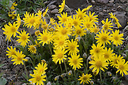 """Frigid Arnica, Arnica frigida; June; Sable Pass, Denali National Park, Alaska. A perinnial that grows up to 12"""", flowers from 2-3"""", generally grows on dry, gravelly and rocky areas. Digital original ©Robin Brandt #07_7351"""
