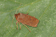 The Chestnut Conistra vaccinii Length 17-19mm. An appropriately-named moth that rests with one forewing partly overlapping the other. Adult has forewings with a right-angle tip; they are chestnut-brown with dark grey, jagged cross lines. Overwinters (hibernating in cold spells) and flies September-May. Larva feeds on oaks, birches and other deciduous trees. Widespread and common in southern and central Britain; more local further north.