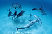 Atlantic spotted dolphins, Stenella frontalis, socializing, White Sand Ridge, Little Bahama Bank, Bahamas ( Western North Atlantic Ocean )