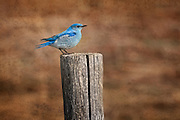 Bluebird on a fence post in Grand Teton National Park with soft textures applied.