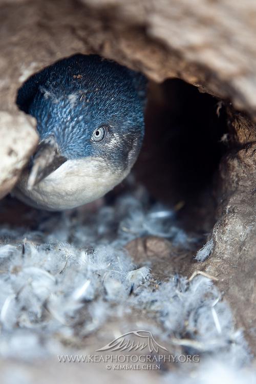 Blue Penguin, moulting in burrow nest, Moeraki, New Zealand