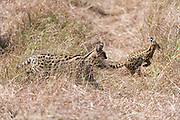 Mother and baby serval cat (Leptailurus serval) from Maasai Mara, Kenya.