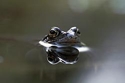 Bruine kikker