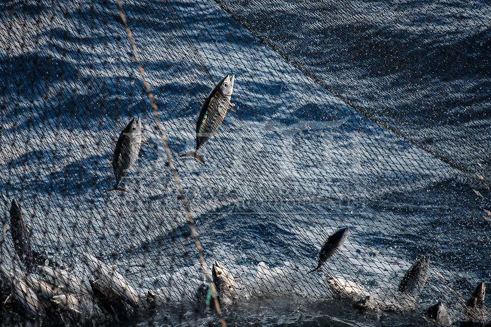 Around 5000 tonnes of skipjack tuna are caught in New Zealand waters each year, mainly by purse-seining, which involves encircling schools of fish in a net and hauling them aboard. Globally, skipjack accounts for more than half of the total volume of tuna landed each year and nets US$16 billion. Most of it ends up in cans.<br /> Shot on assignment for New Zealand Geographic Issue: 170 July August 2021.<br /> Read the Feature: https://www.nzgeo.com/stories/billion-dollar-fish/<br /> Photograph Richard Robinson © 2021.<br /> Rights managed image. No Reproduction without prior written permission.