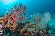 Gorgonian Sea Fan (Gorgonidae)<br /> Cenderawasih Bay<br /> West Papua<br /> Indonesia