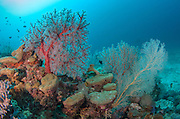 Gorgonian Sea Fan (Gorgonidae)<br /> Cenderawasih Bay<br /> West Papua<br /> Indonesia