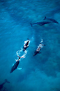 Humpback whale pod, Hawaii