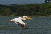 Great White Pelican (Pelecanus onocrotalus) in flight, hulla valley, Israel