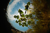 Water chestnut (Trapa natans), underwater, in Danube Delta, Romania. This is a floating annual aquatic plants, growing in slow-moving water up to five meters deep. T. natans and T. bicornis have been cultivated in China and India for at least 3 000 years for the edible seeds.