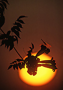 Dragonfly on trumpet creeper at sunset - Mississippi