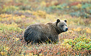 Grizzly cub of the year in autumn Denali National Park.