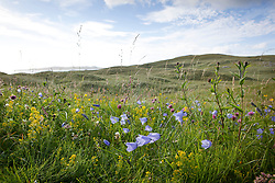 Scottish Bluebell, Harebell, Red and White Clover and Lady's Bedstraw on South Harris, Outer Hebrides. Campanula rotundifolia, Trifolium pratense and Galium verum