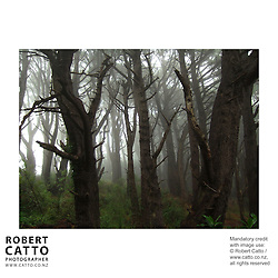 The forest shown in these images, from a foggy morning in Wellington, is famous for being a location from Lord Of The Rings: The Fellowship of the Rings.  At this site, Frodo and the hobbits encounter the Dark Rider in an early scene from the film.<br />
