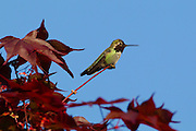 An Anna's hummingbird (Calypte anna) rests on a branch of a maple tree. The medium-sized hummingbird is native to the west coast of North America.