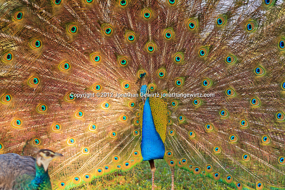 A peacock (Pavo cristatus) displays his tail feathers to a peahen at Crandon Park near Miami, Florida. WATERMARKS WILL NOT APPEAR ON PRINTS OR LICENSED IMAGES.