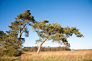 Scots pine tree bent by wind against blue sky, Ramsholt, Suffolk, England