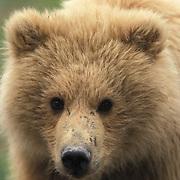 Alaskan Brown Bear, (Ursus middendorffi) Portrait of cub. Alaskan Peninsula.