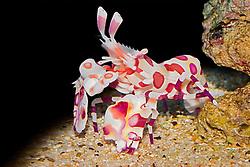 harlequin shrimp, Hymenocera picta,  - preys on sea stars, Hawaii, Pacific Ocean (c)