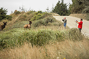 Wildlife watchers photographing Roosevelt Elk, approaching closely