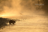Grizzly bear in a river at sunrise