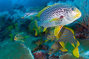 Coral reef in Komodo National Park in Komodo, Indonesia with Diagonal-Banded Sweetlips (Plectorhinchus lineatus) and Oriental Sweetlips (Plectorhinchus vittatus). The reefs in Komodo are among the richest in the world and home to over 1,000 types of fish, nearly 400 varieties of coral, 70 kinds of sponges and several types of whales, sharks, turtles and dolphins.