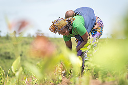 4 June 2019, Meiganga, Cameroon: Nouhou Rafiatou and her son Hamadou work a field near the Ngam refugee camp. Rafiatou is part of a group of CAR refugees trained by the Lutheran World Federation in modern farming techniques. By keeping a strict ratio of how many seeds to sow per hectare, and by sowing Cassava and Groundnut together, they are able to both increase harvests and retain soil fertility over a longer time. Supported by the Lutheran World Federation, the Ngam refugee camp, located in the Meiganga municipality, Adamaoua region of Cameroon, hosts 7,228 refugees from the Central African Republic, across 2,088 households.