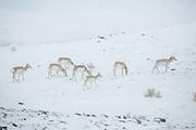 Pronghorn antelope herd during winter