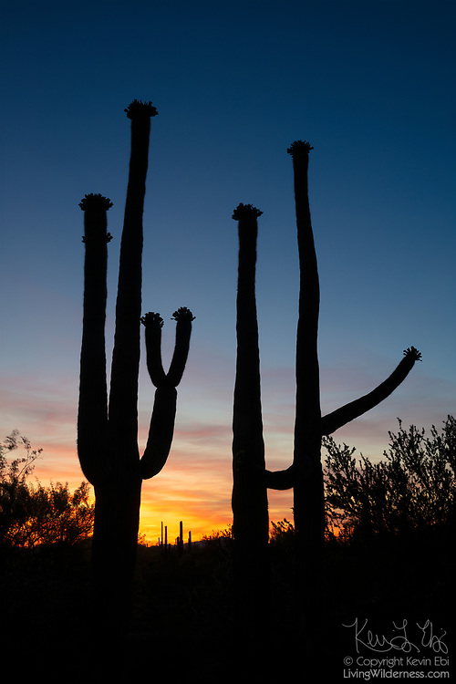 Three saguaro (Carnegiea gigantea) cacti are rendered in silhouette at twilight in Saguaro National Park near Tucson, Arizona. Saguaros can live to be 150 years old, though they do not develop their first arms until they are 75-100.
