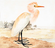 The western cattle egret (Bubulcus ibis) is a species of heron (family Ardeidae) found in the tropics, subtropics and warm temperate zones. Most taxonomic authorities lump this species and the eastern cattle egret together (called the cattle egret), but some (including the International Ornithologists' Union separate them. Despite the similarities in plumage to the egrets of the genus Egretta, it is more closely related to the herons of Ardea. Originally native to parts of Asia, Africa and Europe, it has undergone a rapid expansion in its distribution and successfully colonised much of the rest of the world in the last century. 18th century watercolor painting by Elizabeth Gwillim. Lady Elizabeth Symonds Gwillim (21 April 1763 – 21 December 1807) was an artist married to Sir Henry Gwillim, Puisne Judge at the Madras high court until 1808. Lady Gwillim painted a series of about 200 watercolours of Indian birds. Produced about 20 years before John James Audubon, her work has been acclaimed for its accuracy and natural postures as they were drawn from observations of the birds in life. She also painted fishes and flowers. McGill University Library and Archives