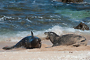Hawaiian monk seals, Monachus schauinslandi, Critically Endangered endemic species, a 7-year-old male (RI11), on left, fights with a 5 year old male (R036), on right, for access to females at Beach 4 on west end of Molokai, Hawaii ( Central Pacific Ocean )