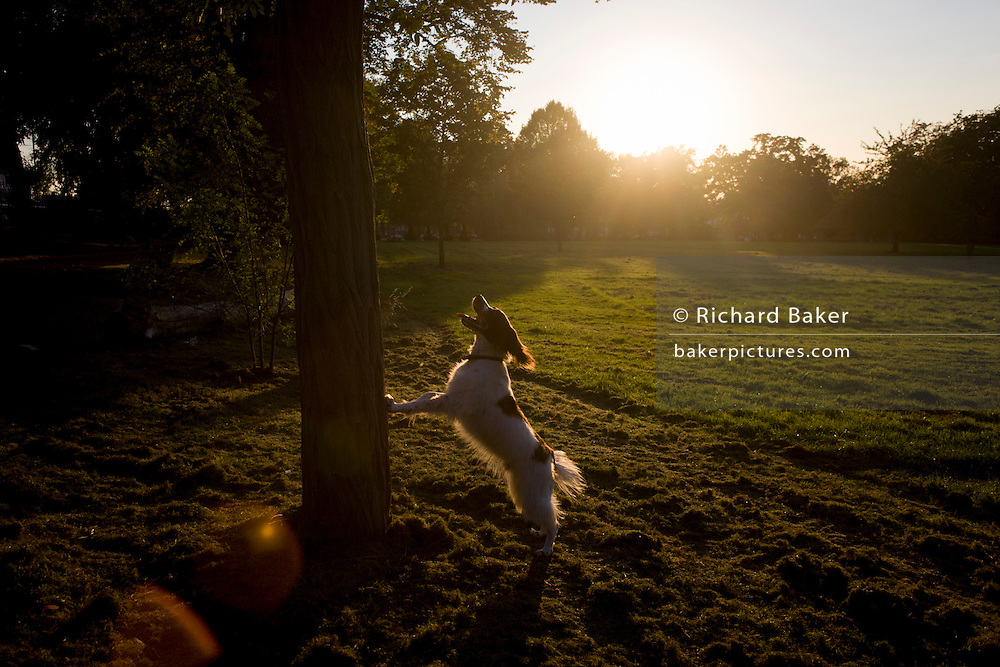 A pet spaniel jumps against a tree while barking at park tree squirrels.