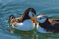 A pair of horned puffins