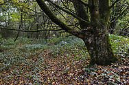 Ancient boundary bank, Stoke Wood, Oxfordshire.