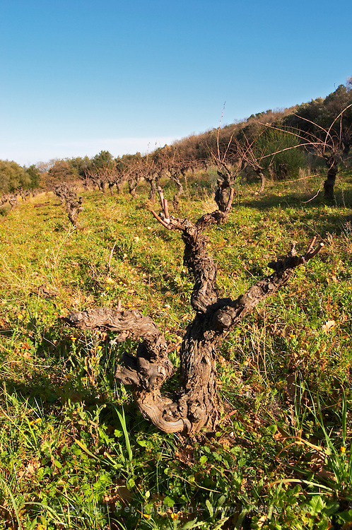 Domaine Fontedicto, Caux. Pezenas region. Languedoc. Vines trained in Gobelet pruning. Old, gnarled and twisting vine. 70 year old Terret grape vine variety. France. Europe. Vineyard.