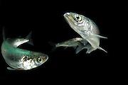 [M] Vendace (Coregonus albula) freshwater whitefish (captive & digital composite of two images) | Kleine Maräne (Coregonus albula)