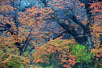Fall color in the Lenga forest in Los Glaciares National Park, Argentina