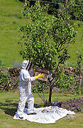 Beekeeper gathering swam of honey bees from a plum tree in the Cotswolds, UK