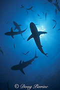 requiem sharks: blacktip sharks, Carcharhinus limbatus; and Caribbean reef sharks, Carcharhinus perezi, Bahamas ( Western Atlantic Ocean )