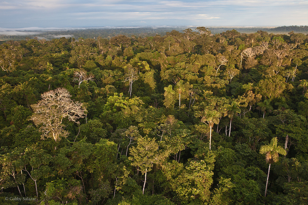 View from the 180 foot radio tower at  Los Amigos Conservation Concession. The concession was established in 2001 by the Amazon Conservation Association and the Asociación para la Conservación de la Cuenca Amazónica. Los Amigos was the first private conservation concession in the world. The 360,000 acre concession is located between the Madre de Dios River and the Los Amigos River. It protects primary lowland Amazon rainforest in the Manu - Tambopata Conservation Corridor and has a biological research station called CICRA.