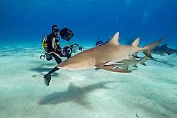 lemon sharks, Negaprion brevirostris, and scuba divers, Grand Bahama, Bahamas, Caribbean Sea, Atlantic Ocean, model released