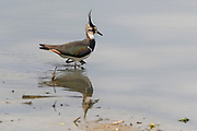 Northern lapwing (Vanellus vanellus) from Kaziranga National Park, Assam, north-east India in February.