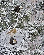 Two Eagles nest, bald eagles, spring snow, Idaho