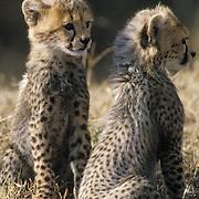 Cheetah, (Acinonyx jubatus) Portrait of cubs. Serengeti Plains. Masai Mara Reserve. Kenya.