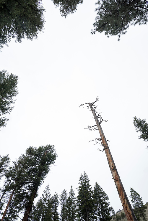 Looking up through trees, Wallowa - Whitman National Forest, Oregon.