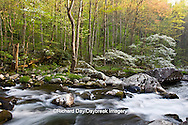 66745-04103 Dogwood trees in spring along Middle Prong Little River, Tremont area, Great Smoky Mountains National Park,TN